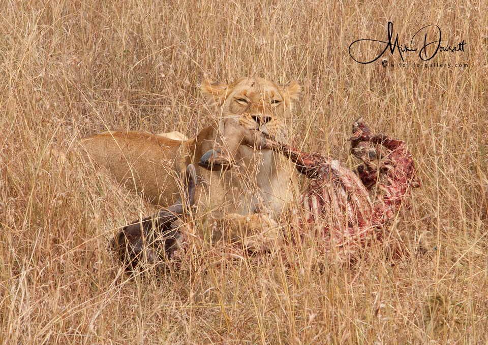 African Lioness with prey