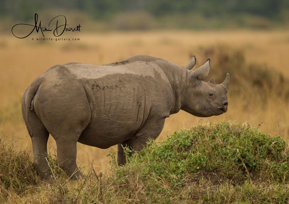 Masai Mara Black Rhinoceros