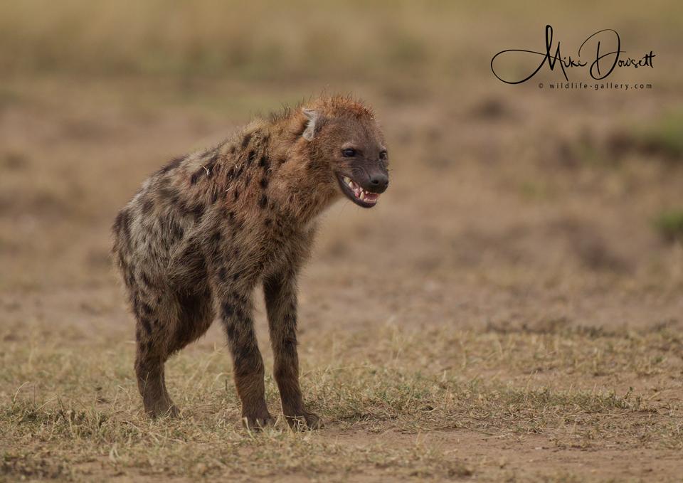 Hyena smiling