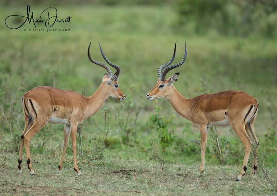 Masai Mara Impala''s