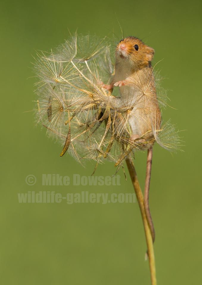 Harvest Mouse Dandelion