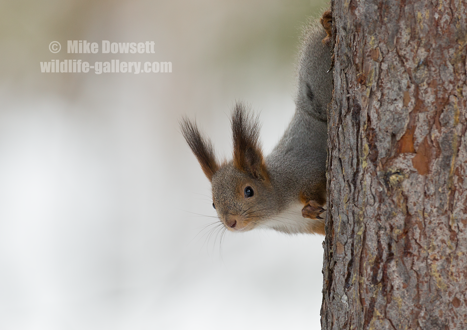 Arctic Squirrel
