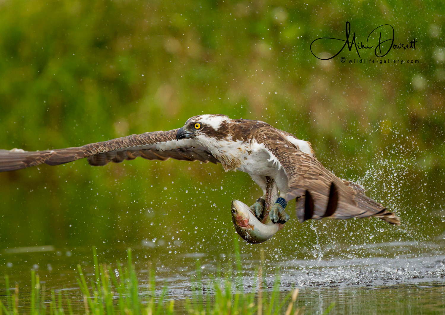 Osprey with a fish