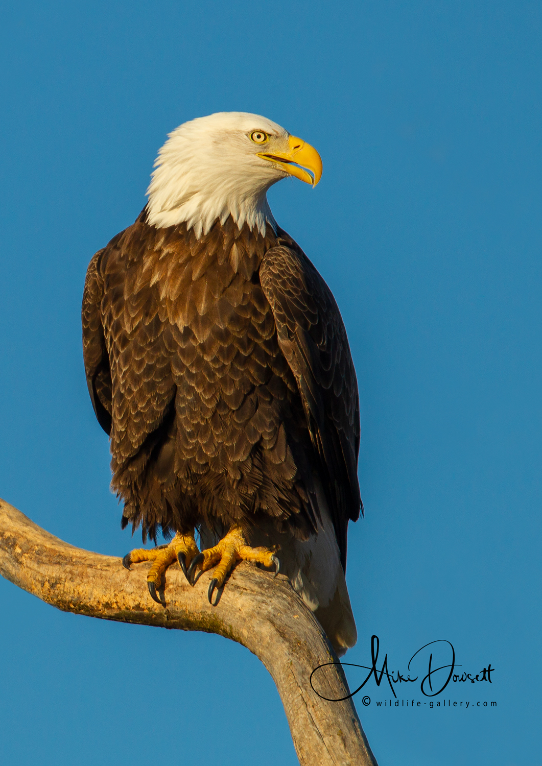 Bald Eagle roosting