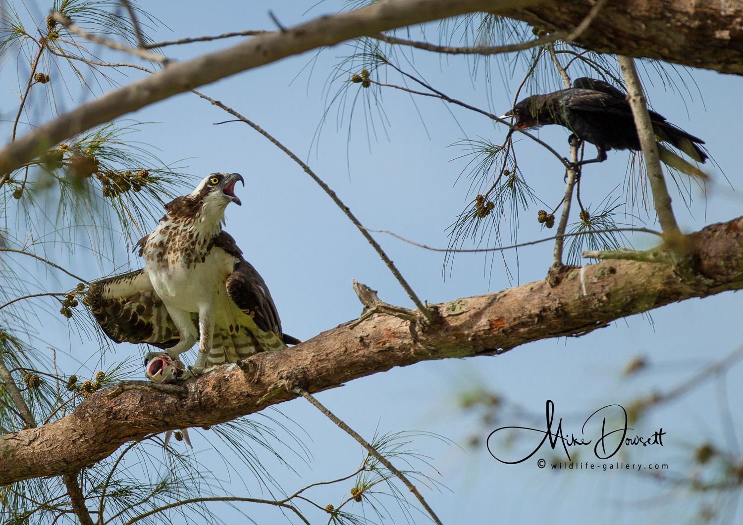 Osprey and a Crow