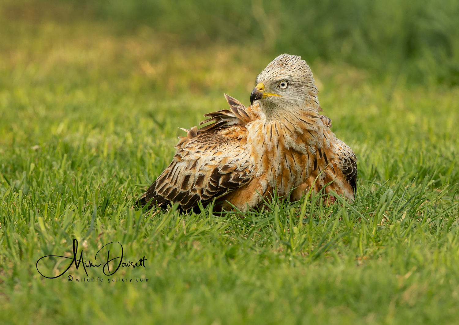 Red Kite on the ground