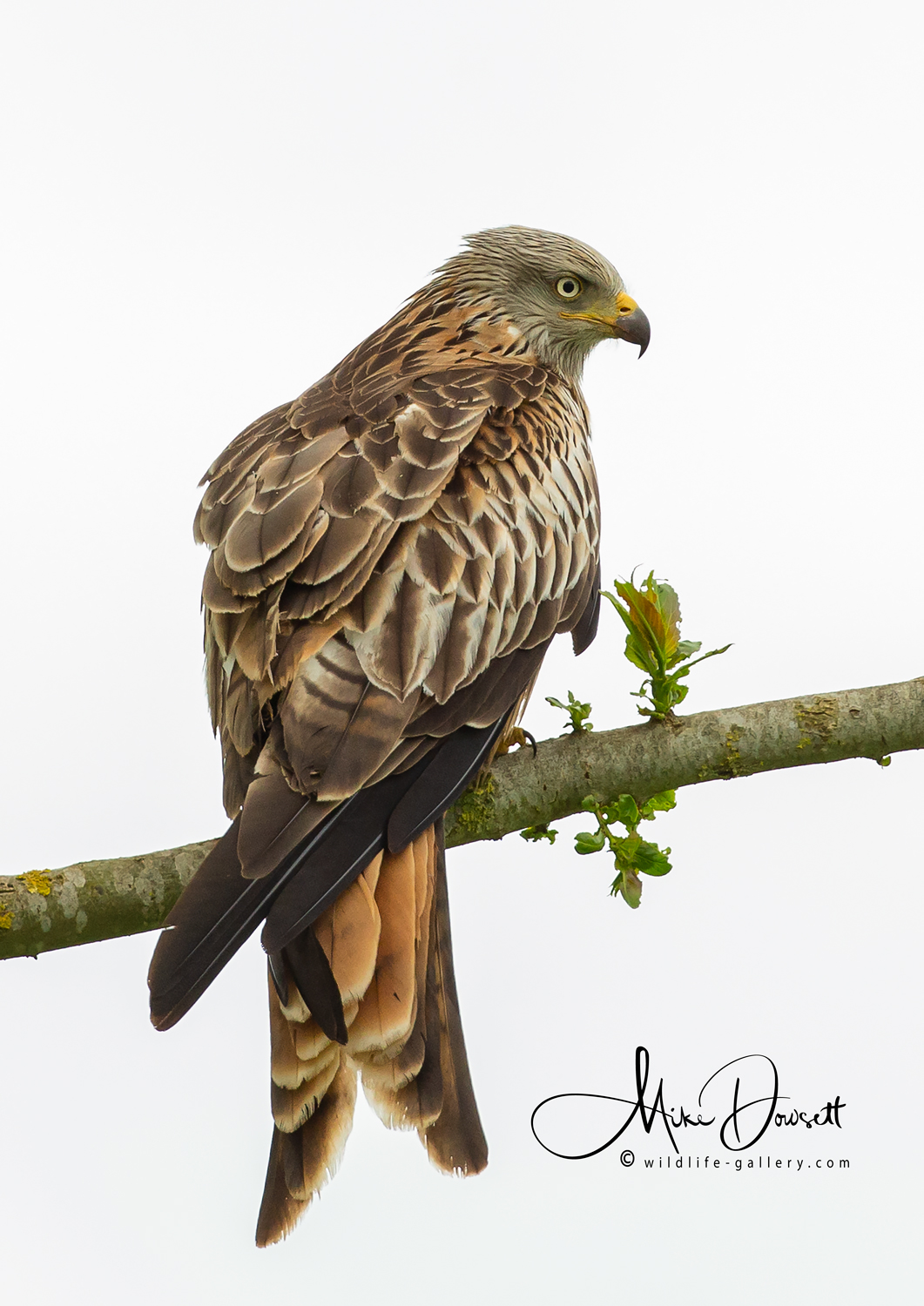 Red Kite on a branch