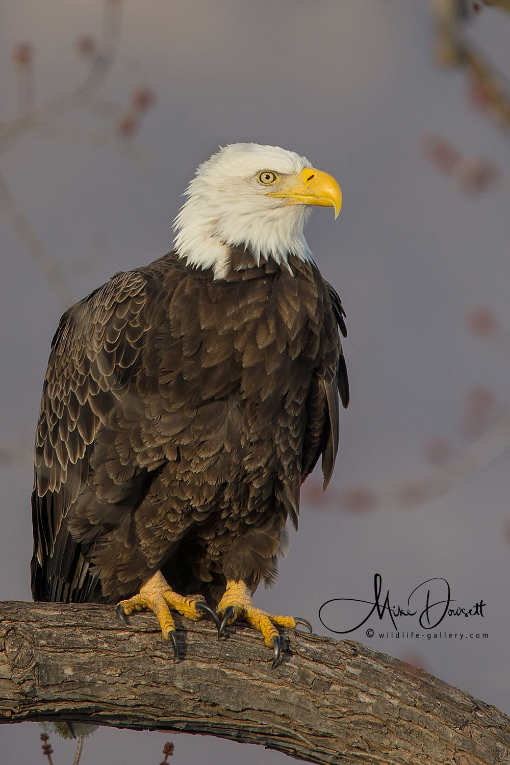 Bald Eagle Portrait