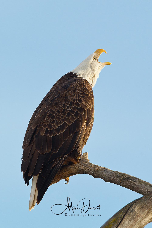 Bald Eagle Calling Close-Up