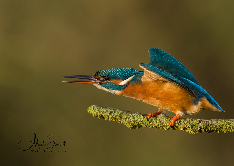 Defensive Kingfisher