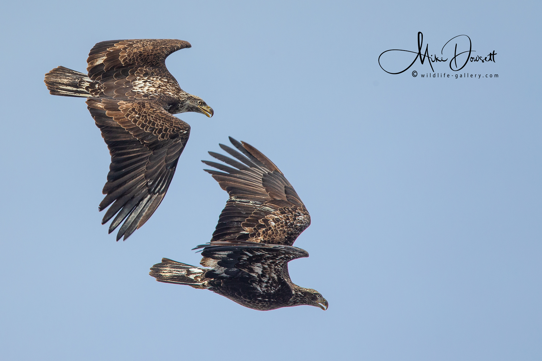 Pair of Juvenile Bald Eagles in flight