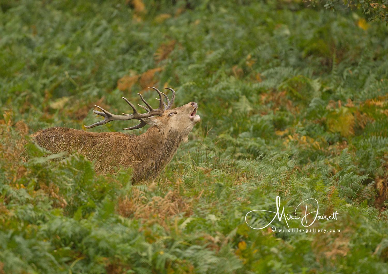 Red Deer Stag Roaring