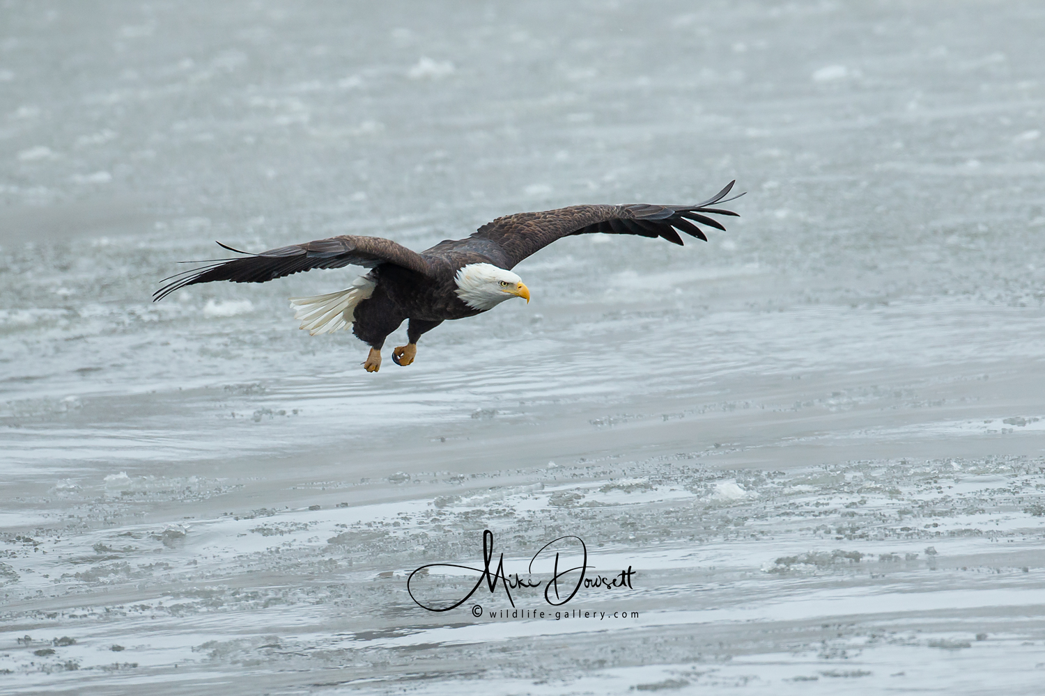 Bald Eagle diving for fish