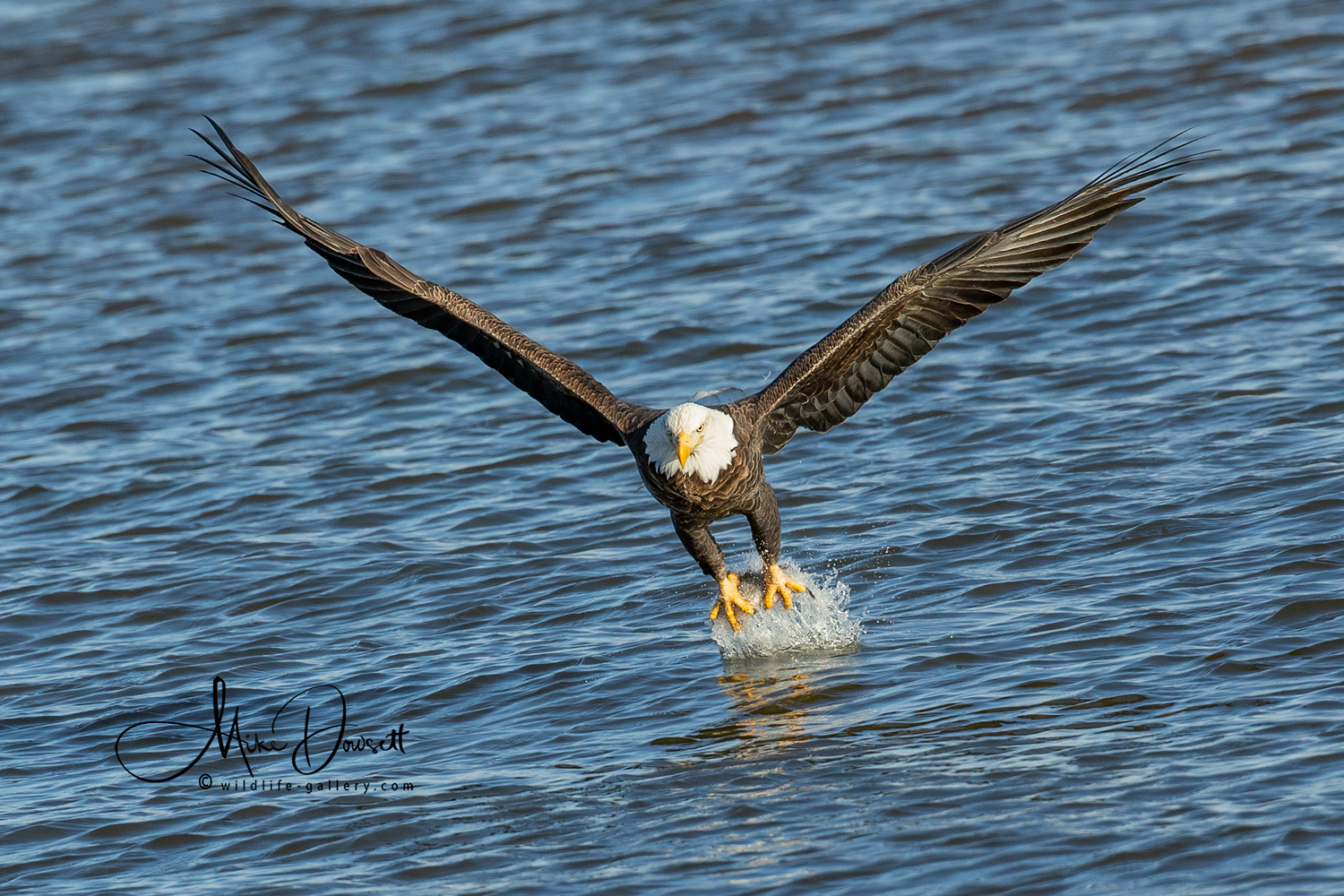 Bald Eagle Fishing