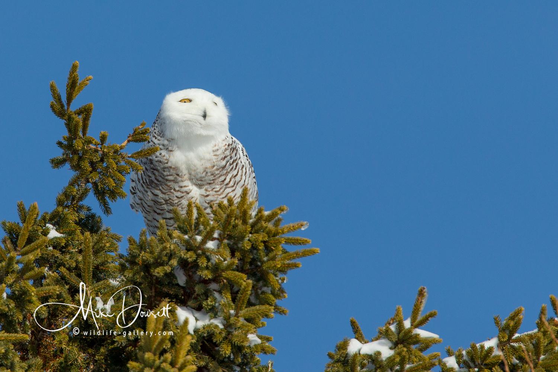Snowy Owl in a pine tree