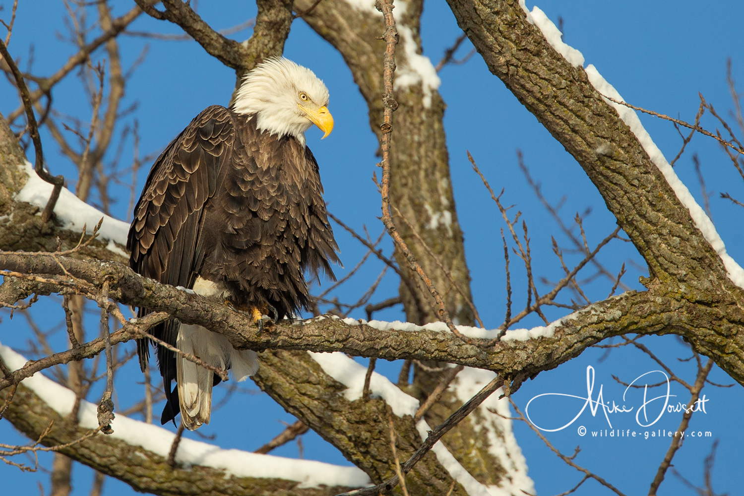 Bald Eagle in snow