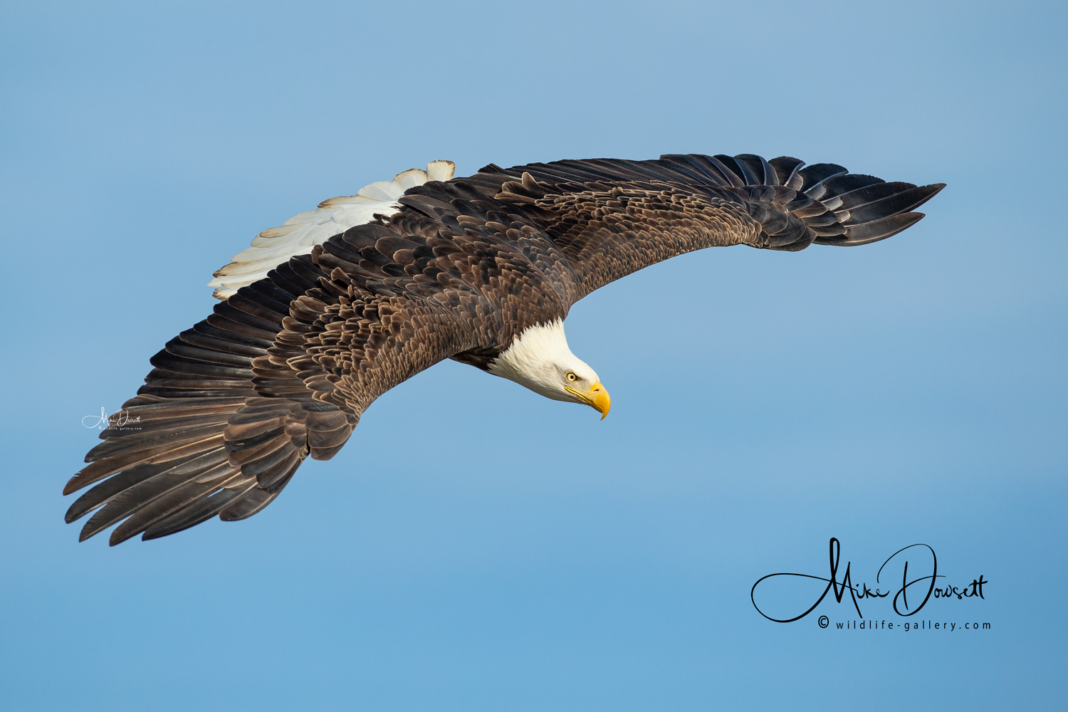 Bald Eagle in flight - a majestic American Bald Eagle, feather perfect, in flight above the Mississippi River…