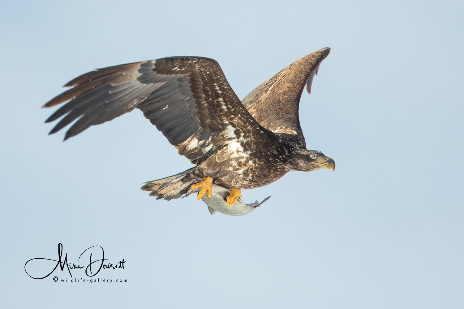 A juvenile Bald Eagle flying back over the parking lot with a fish - Lock & Dam No. 14