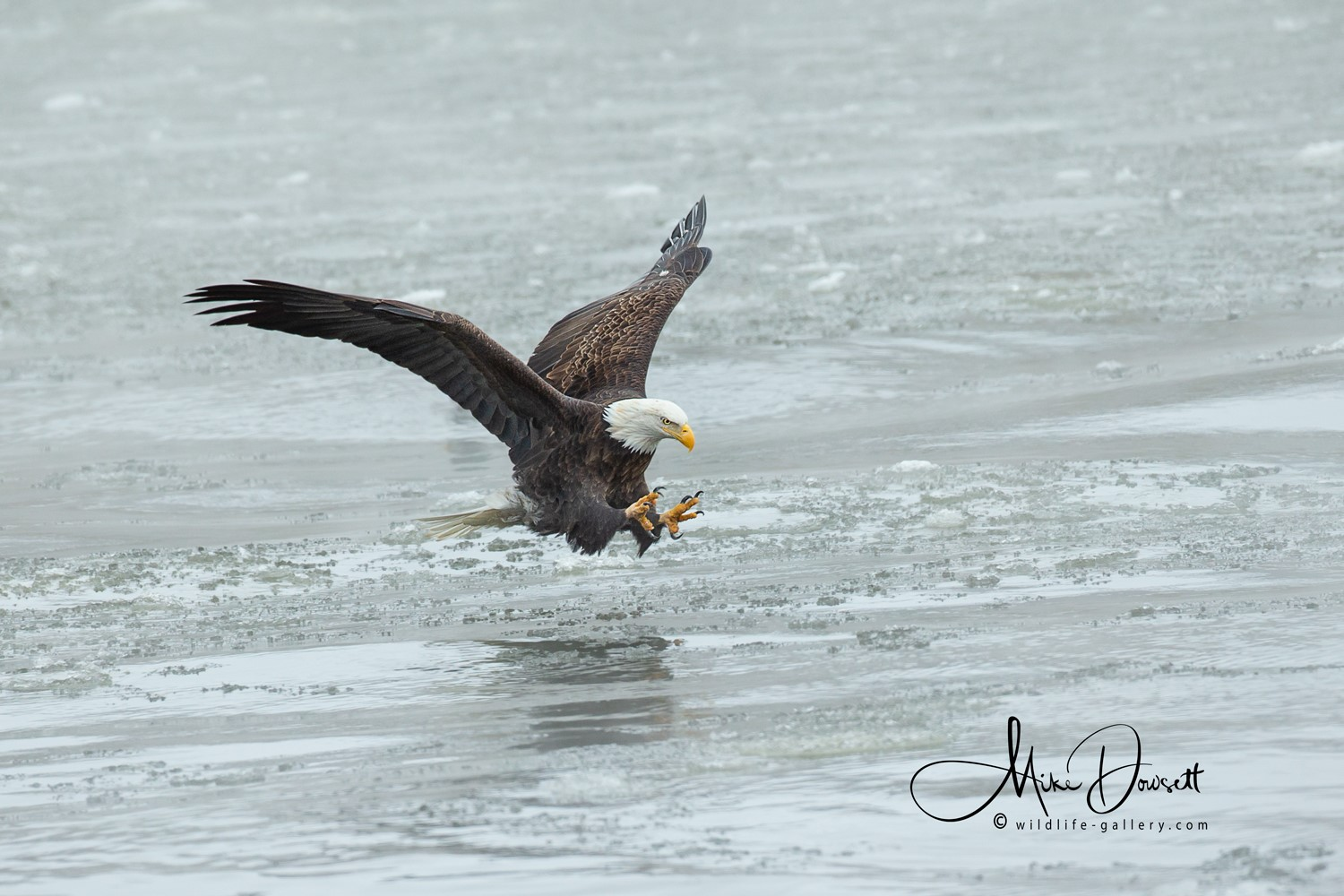 Bald Eagle fishing at Lock and Dam No. 14, Mississippi River, Iowa