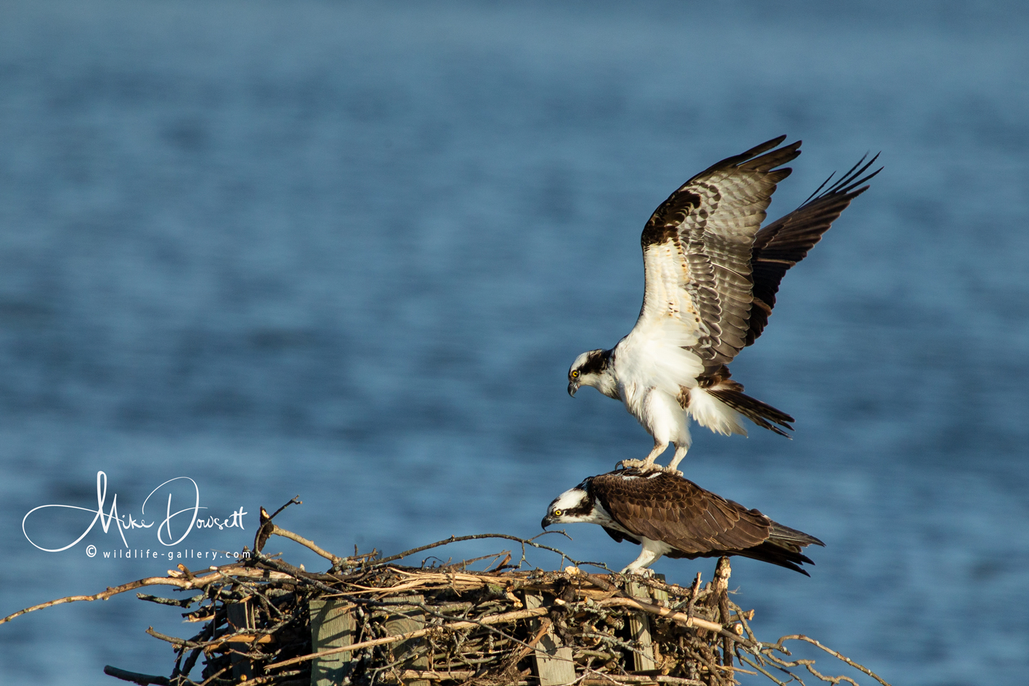 Pair of Osprey mating