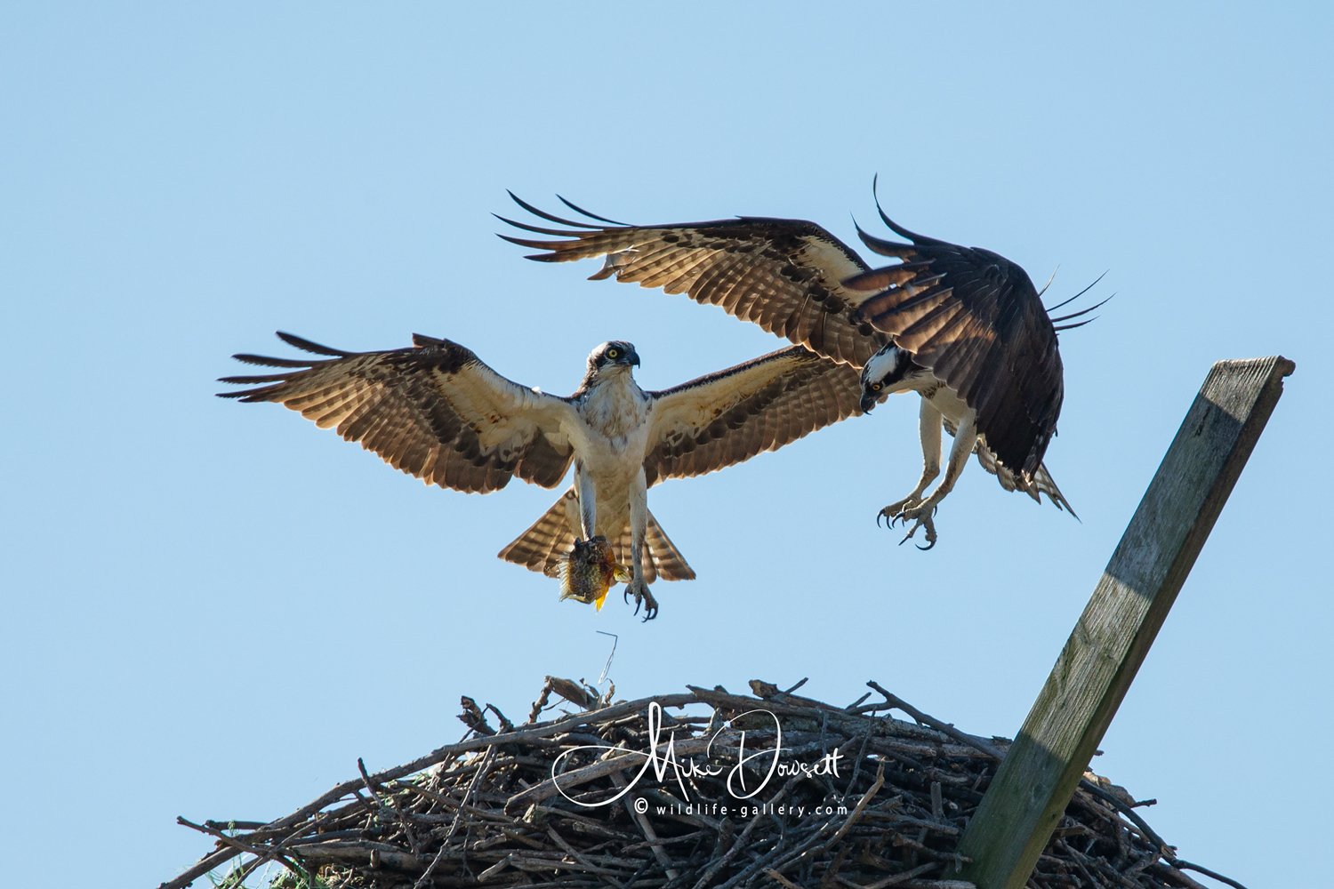 The male Osprey returns to the nest after catching a small fish from the Detroit River