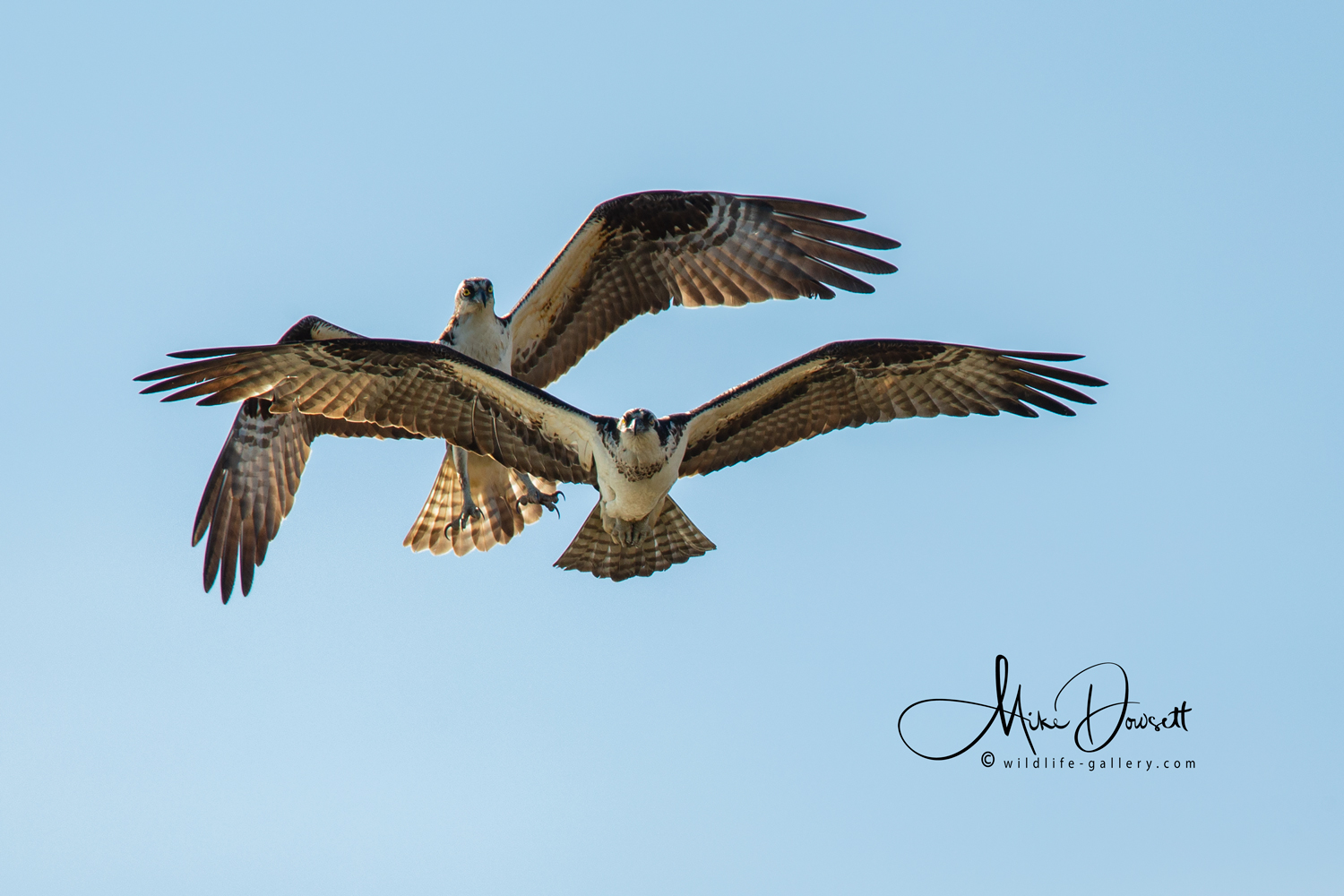 This pair of Osprey looked to really enjoy being together & flew side by side, very close. The Male is behind.