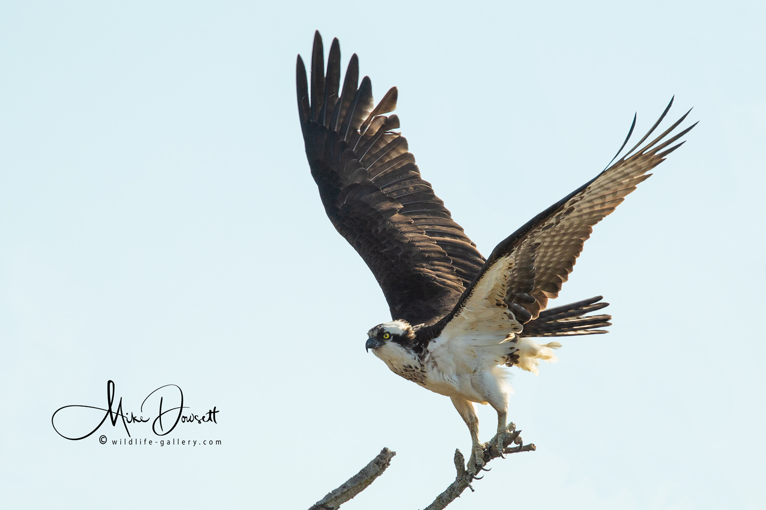 The female Osprey roosted in a tree close to the nest before returning to sit with her partner.