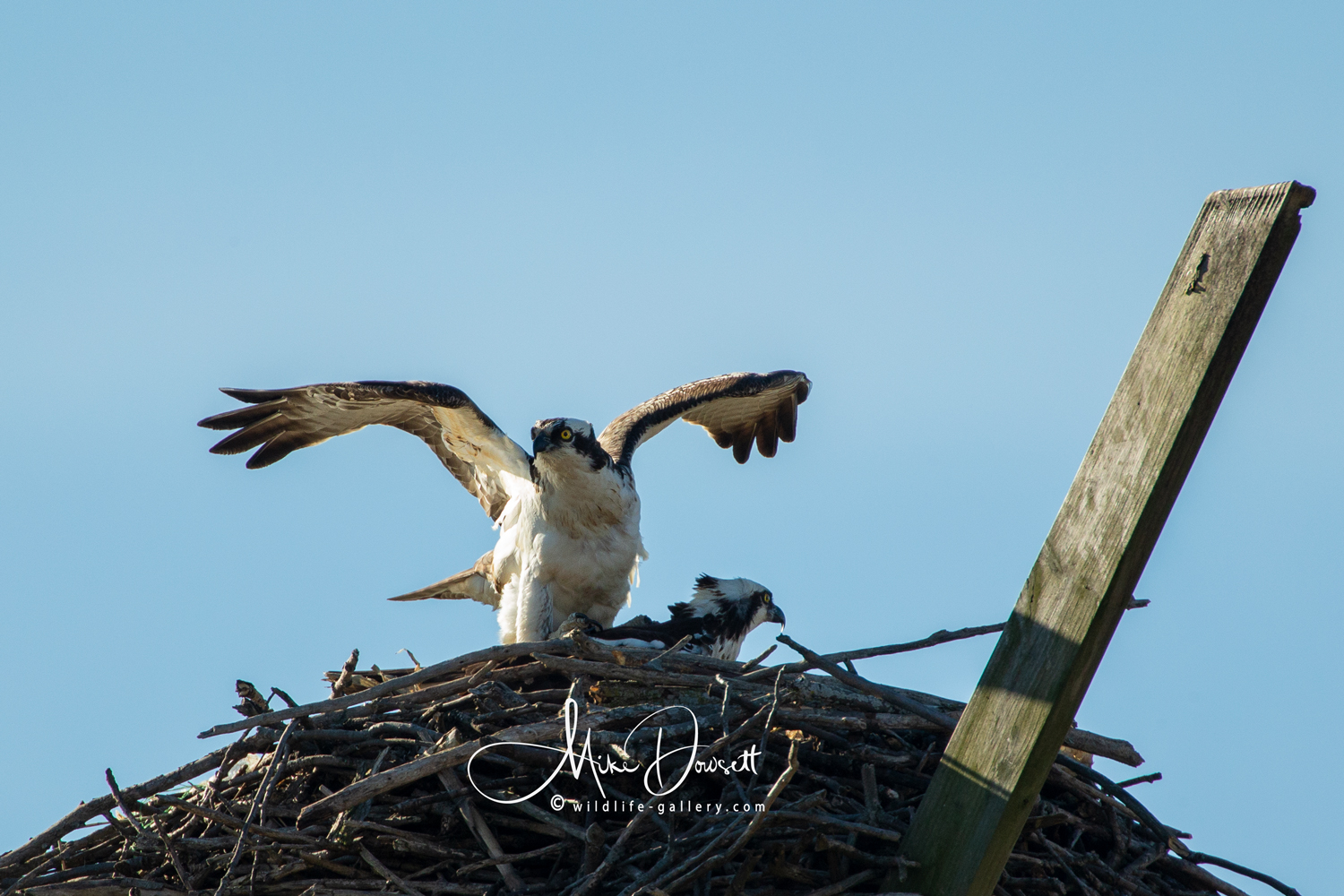 Michigan Osprey making babies on a beautiful spring morning.
