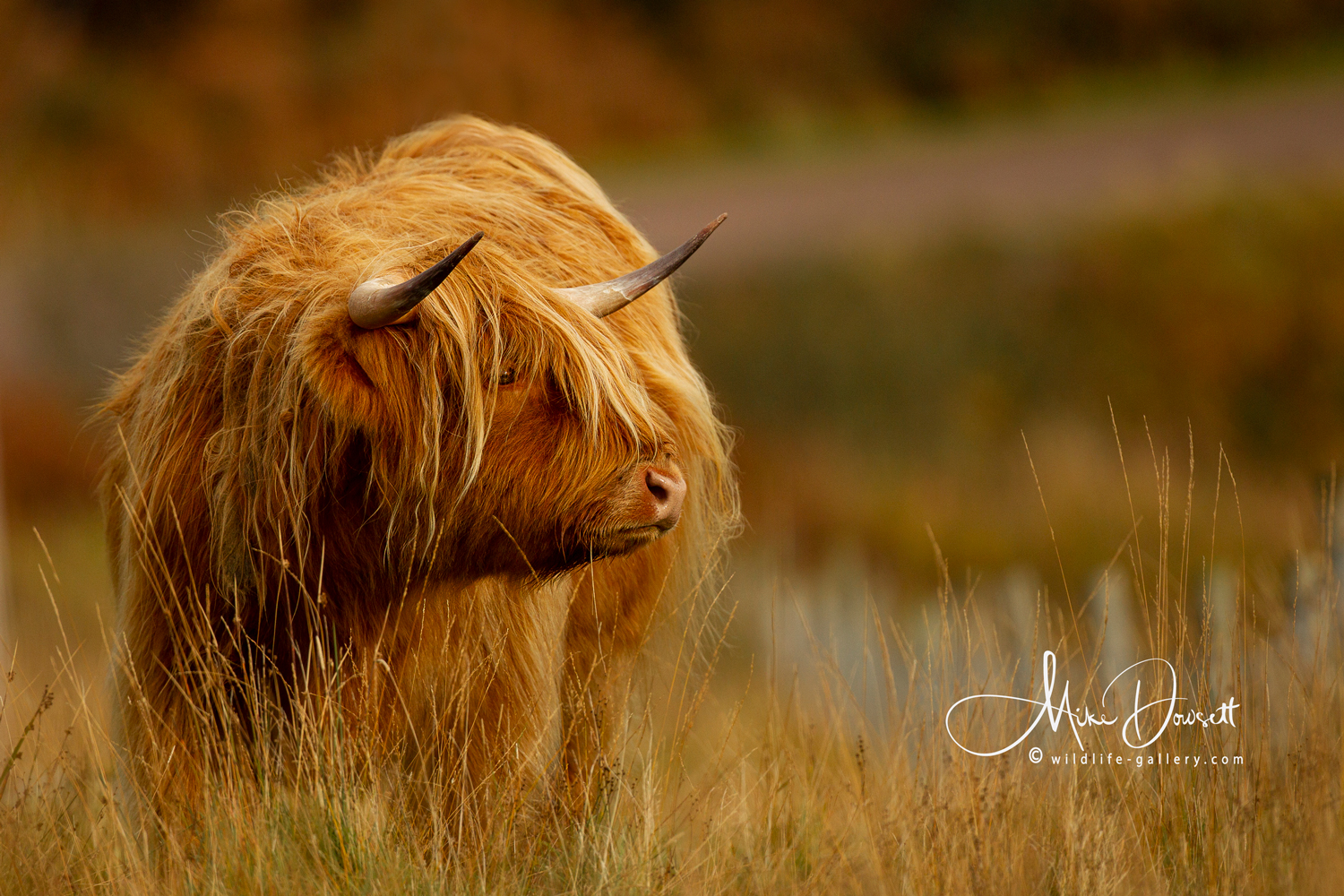 A Highland Cow, having a bad hair day, on the Isle of Mull…