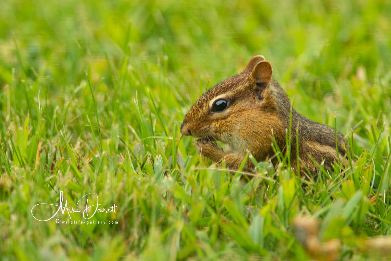Chipmunk filling its cheek pouches