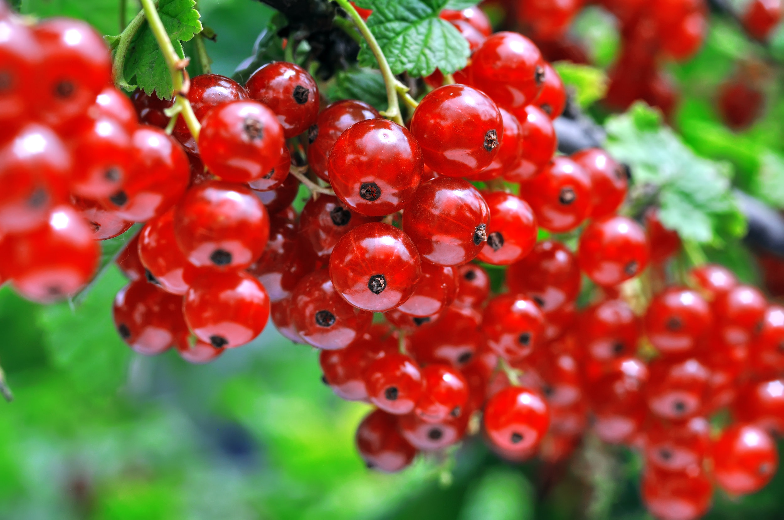 close-up-of-a--red-currant-519835970_4288x2848.jpeg