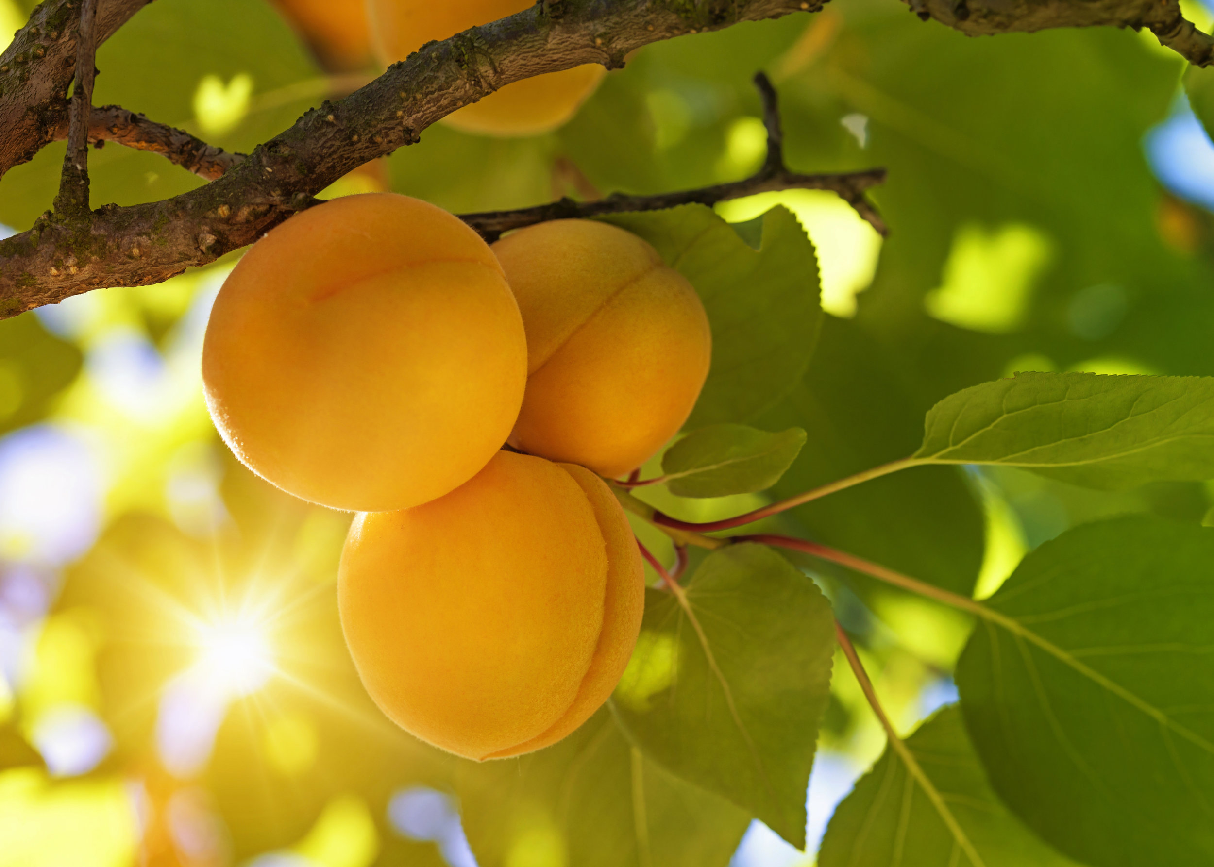 Apricot-tree-with-fruits-483094969_5242x3744.jpeg