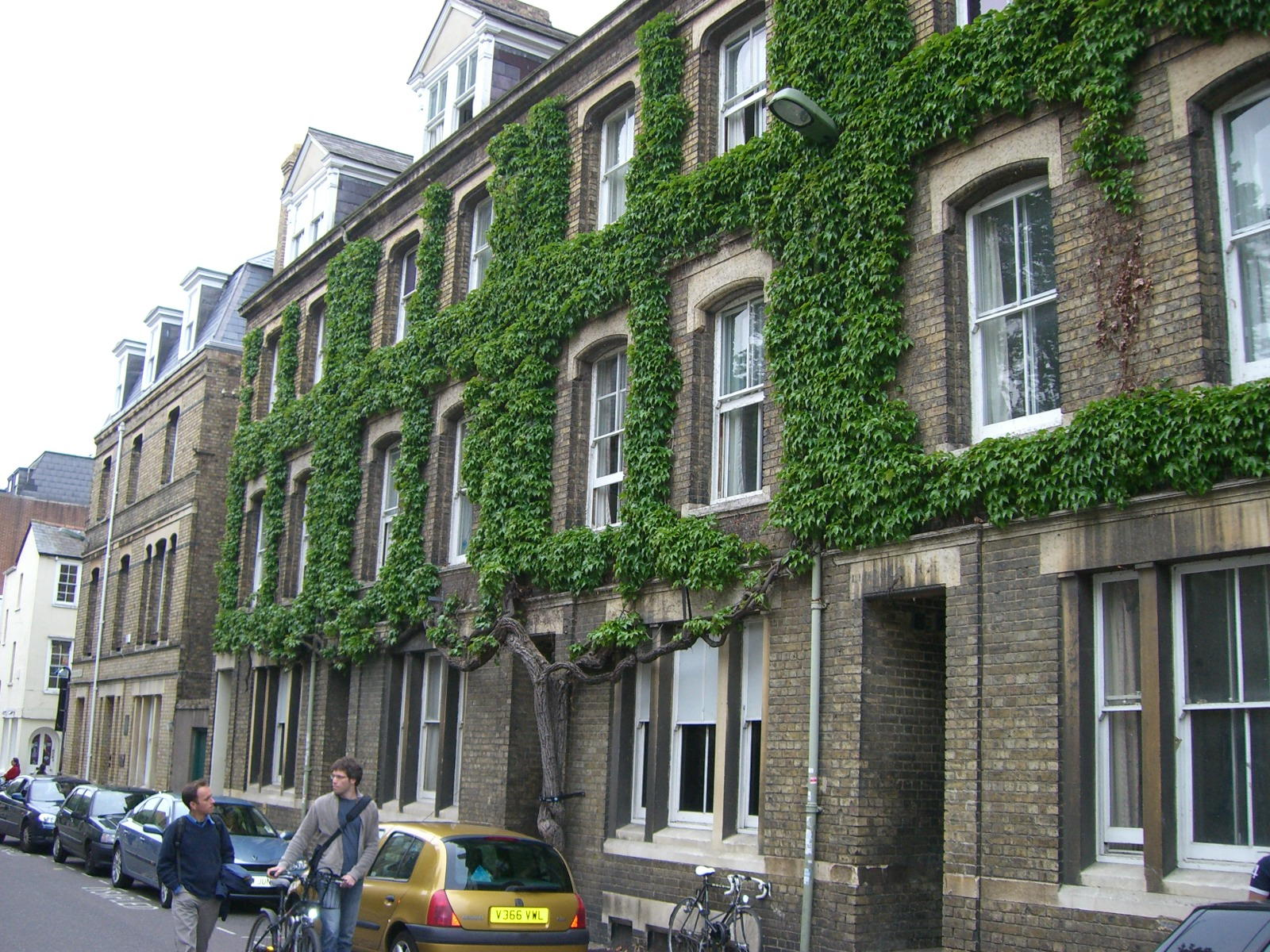 An Oxford trained vine growing on a building in England, UK.
