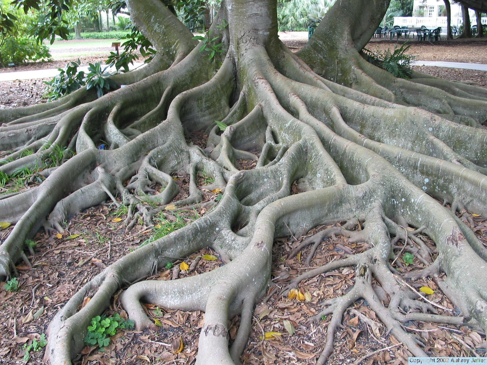 This is a big tree with lots of roots scattered all over the ground.
