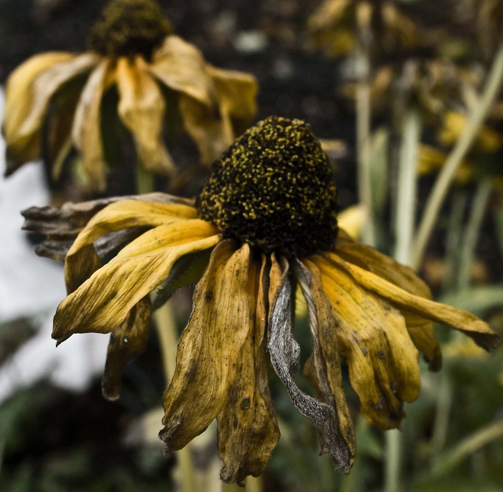 sunflower withered and dry with a gloomy background of a grey sky
