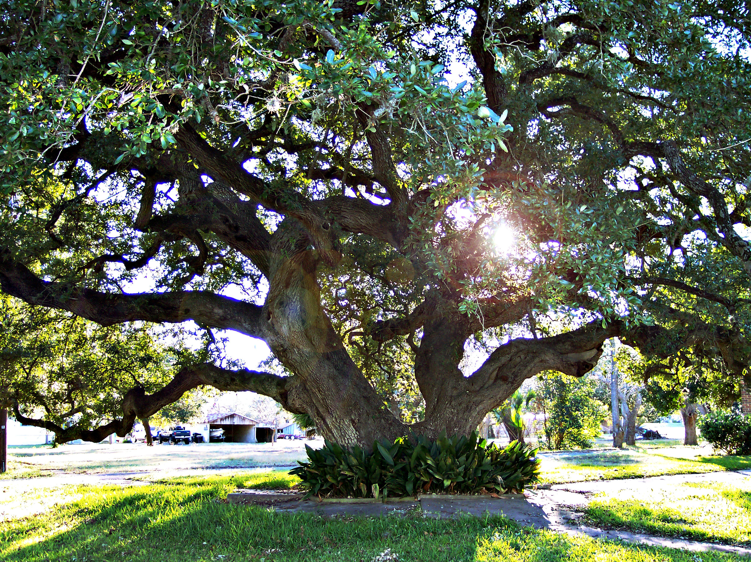 A large growing oak tree in the middle of a suburban neighborhood.