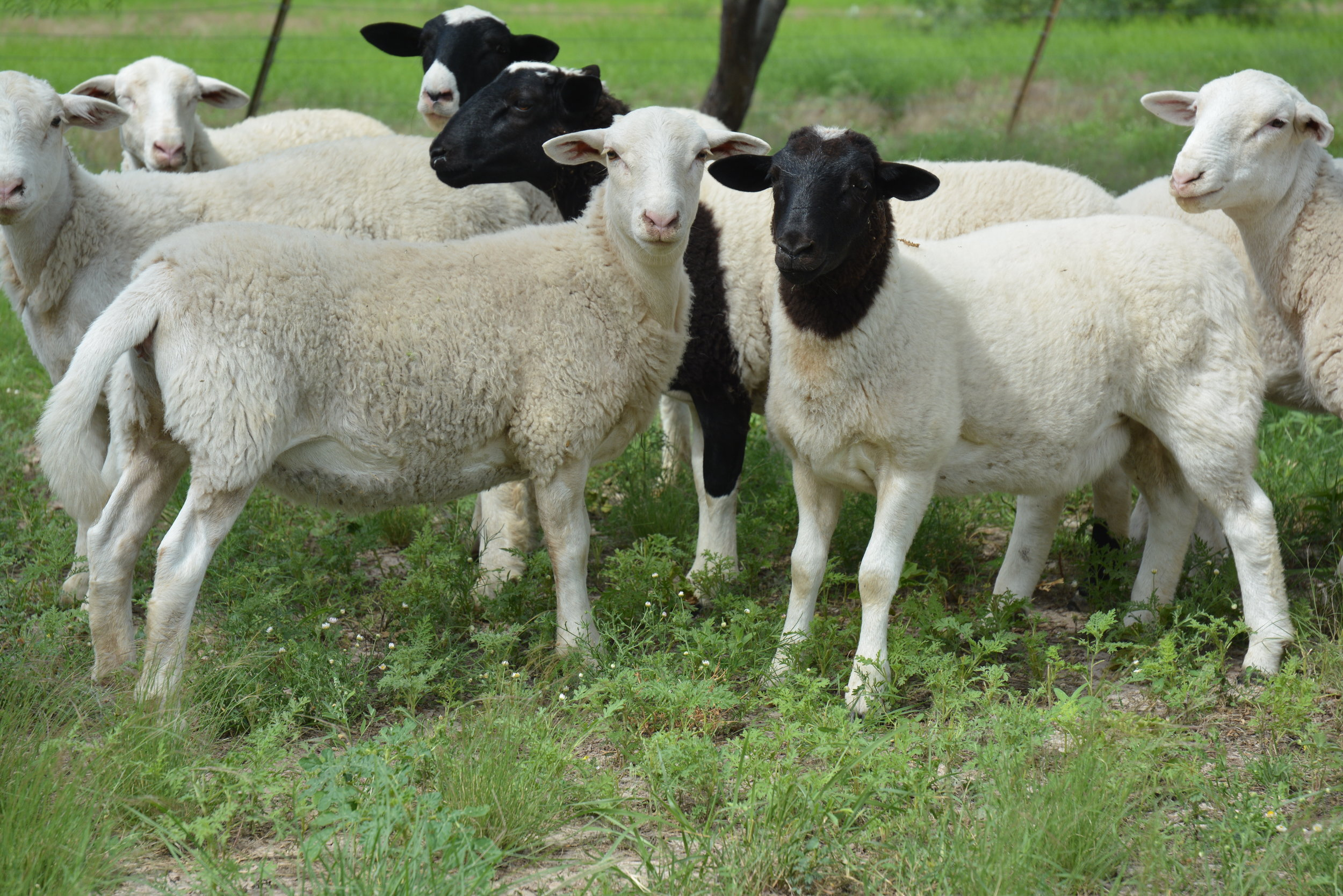 Sheep with white faces and black faces standing together in a pasture.