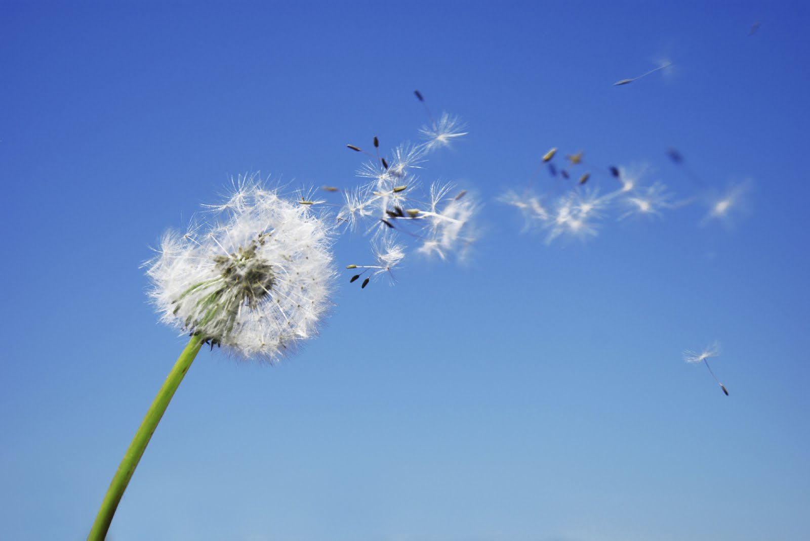 a dandelion being blown by the wind with a blue background