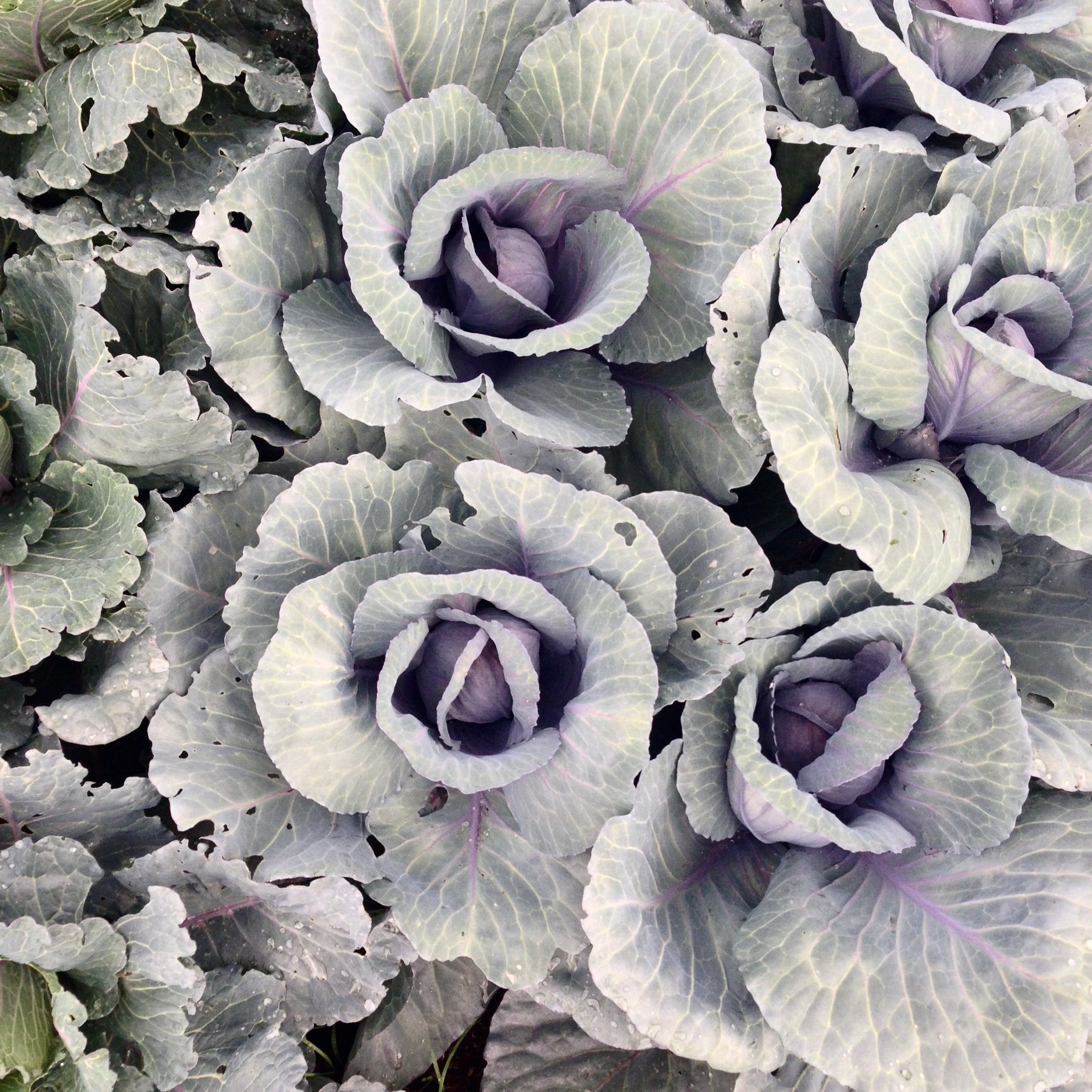 Some cabbages from a friend's garden