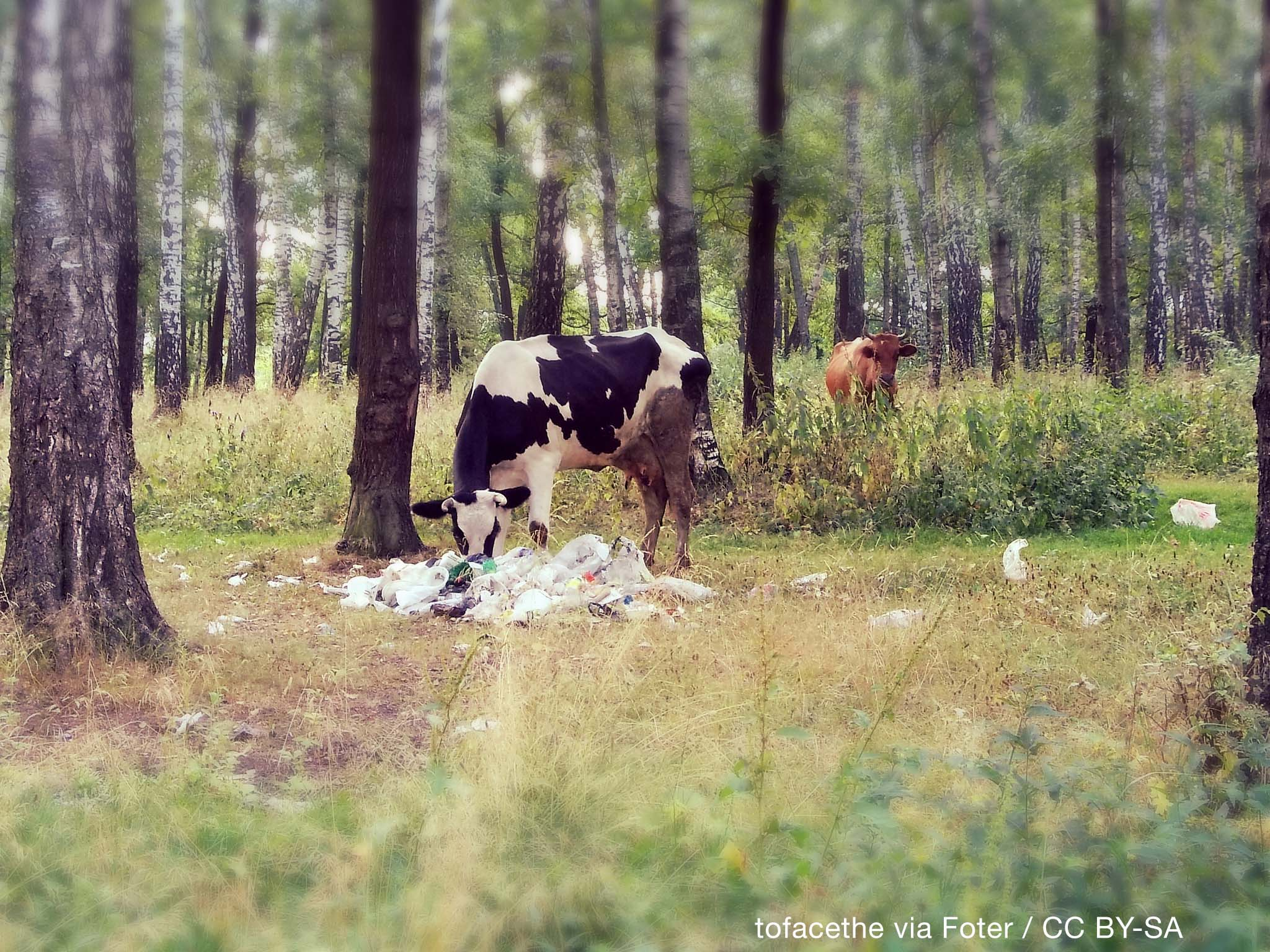 India's cows are extremely threatened by plastic pollution — but they are not the only ones.