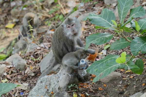 Mother and baby macaque on Lombok eating plastic. Photo by Wayne Sentman