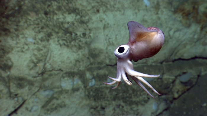 A bobtail squid is imaged by the  Deep Discoverer remotely operated vehicle during Dive 07 in Atlantis Canyon. (Image courtesy of NOAA Okeanos Explorer Program, 2013 Northeast U.S. Canyons Expedition)
