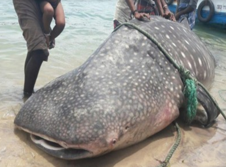 The whale shark was 18 feet long and 10 feet wide. Photo by  The Times of India