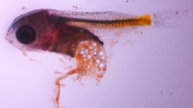 microplastic-in-fish.jpg
