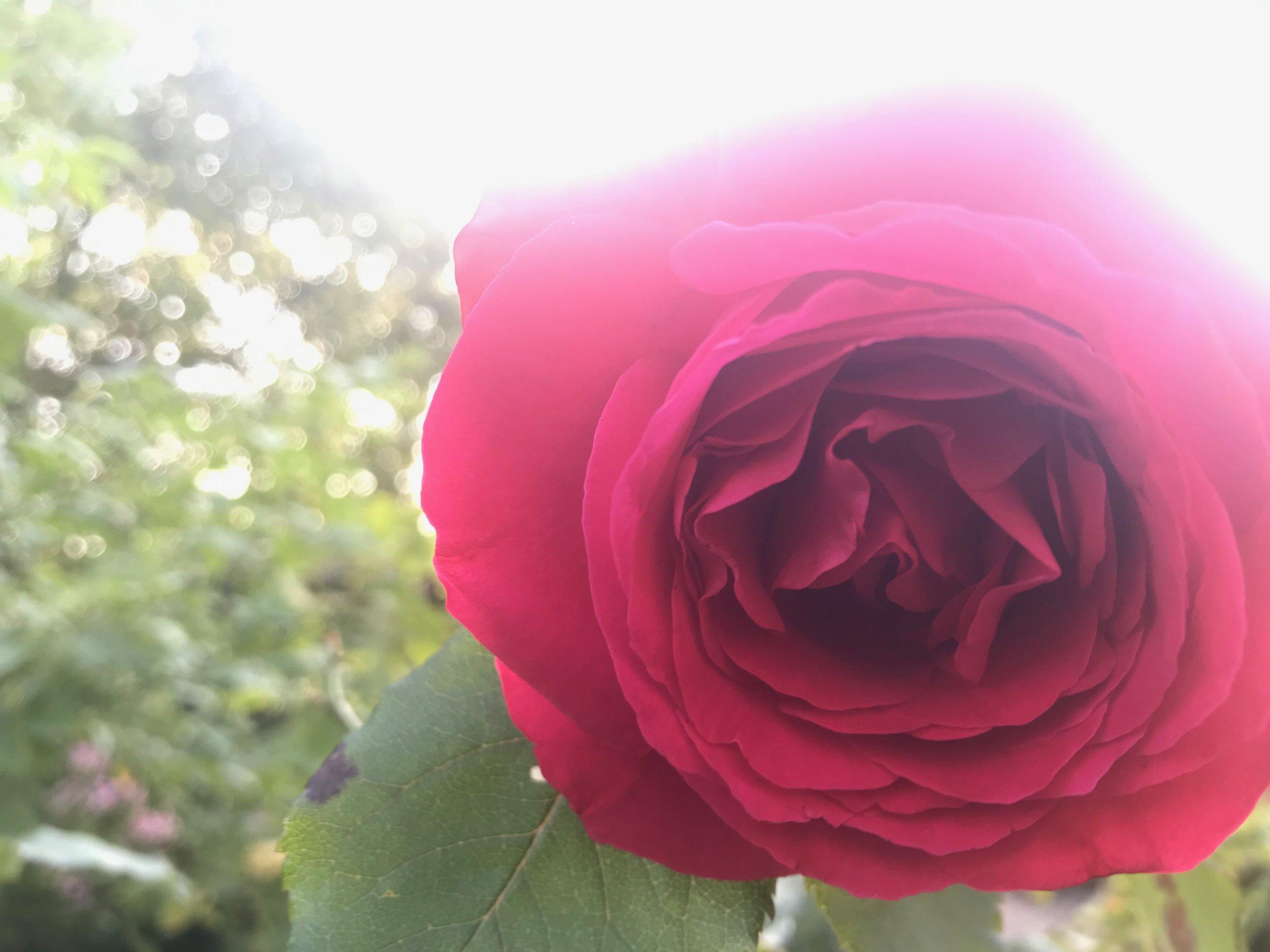 Avalon rose.JPG