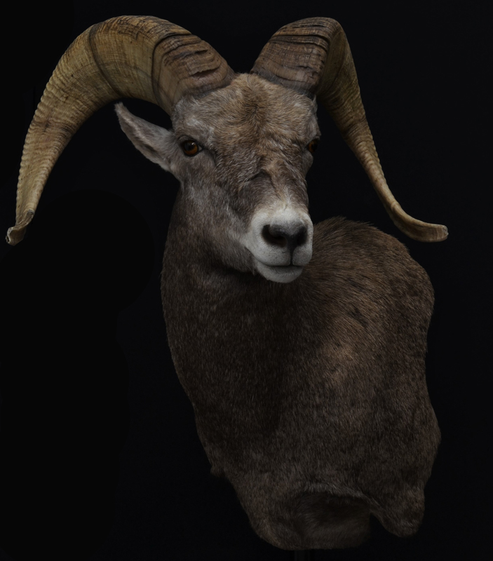 California bighorn sh