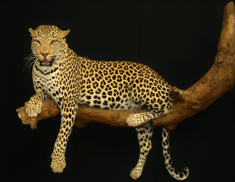 leopard bruce.jpg
