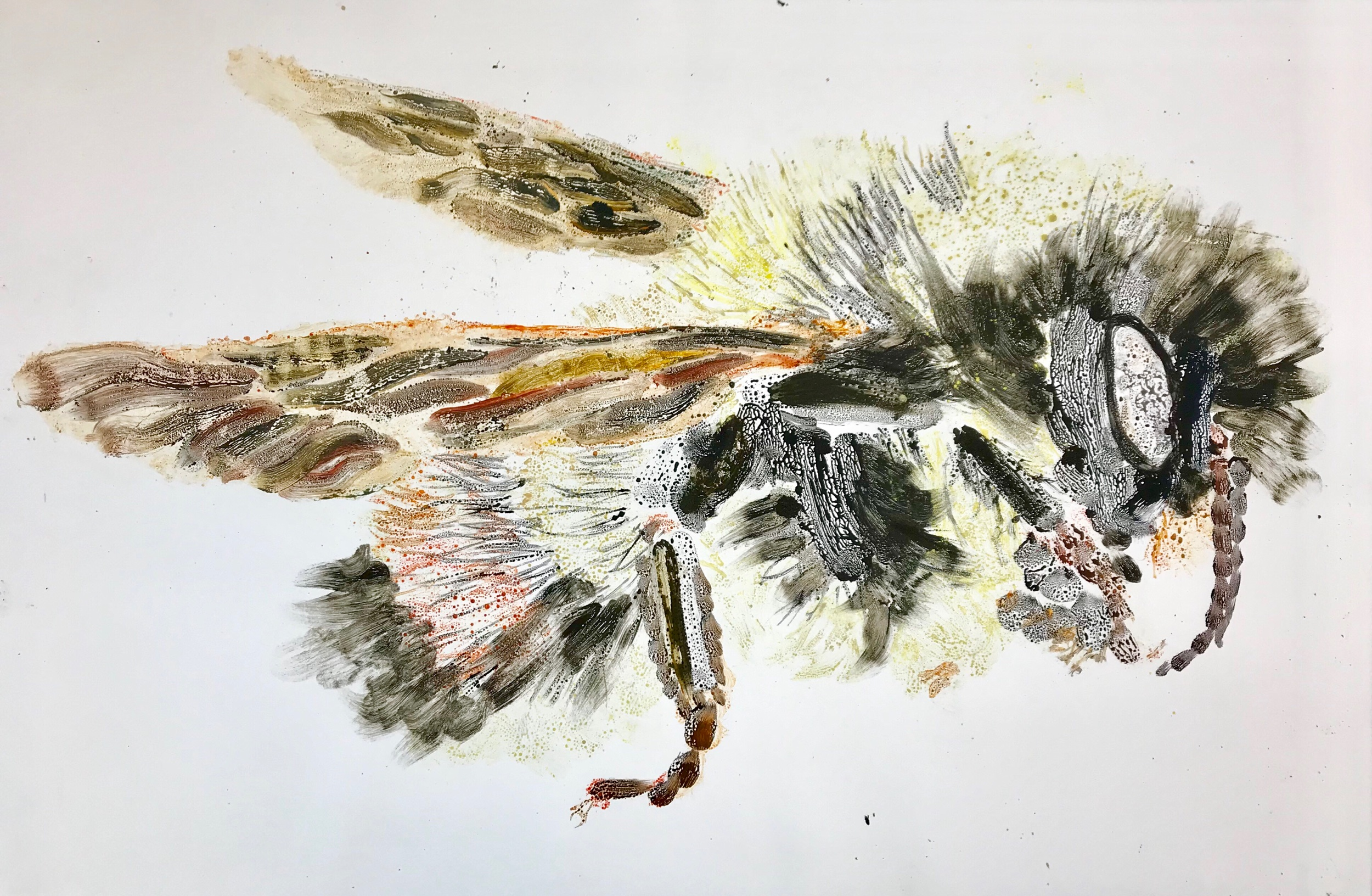 "Bombus Affinis II 30"" X 44"" watercolor monotype"