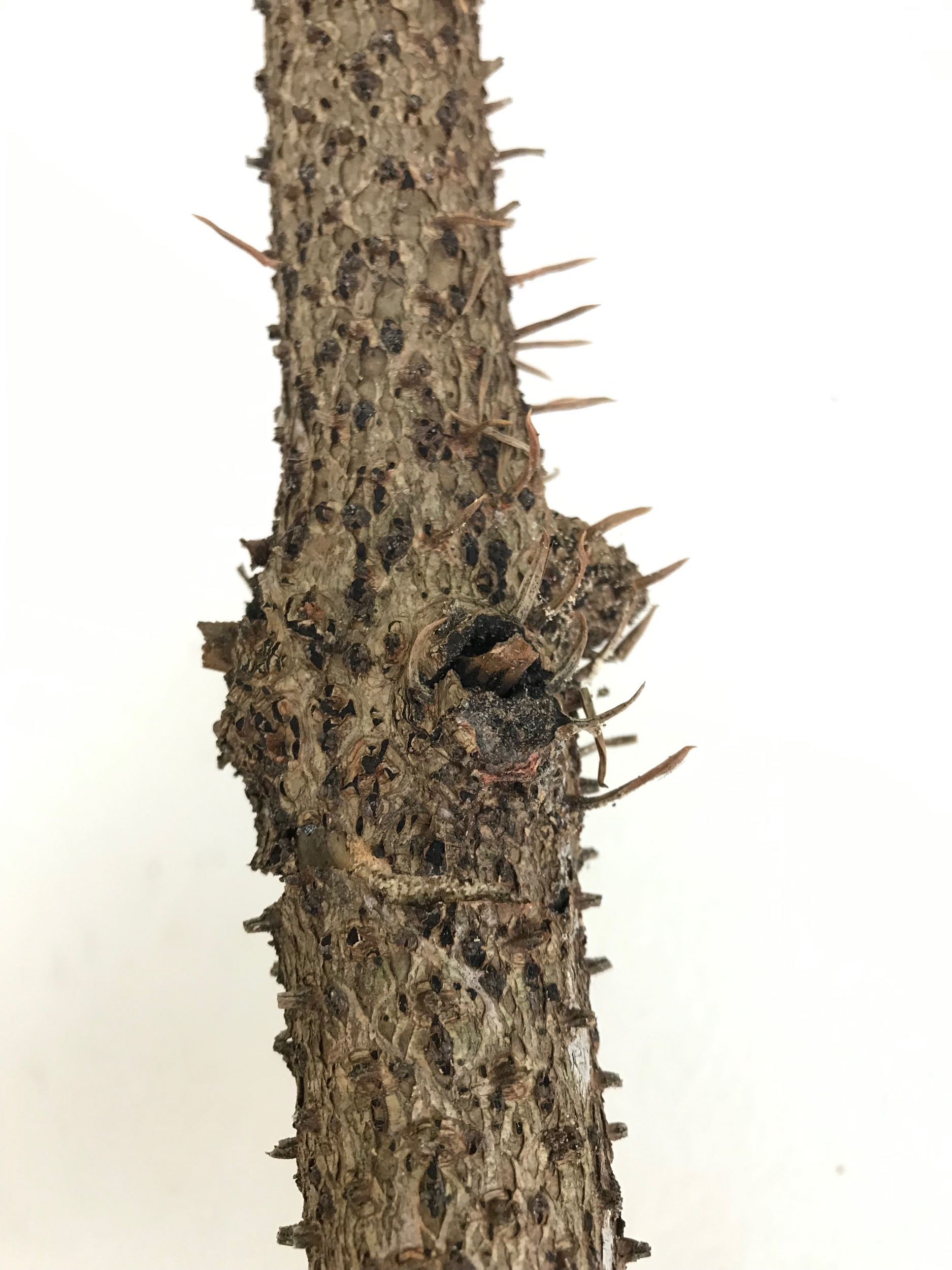 Very interesting trunk of bark with a trunk of thorns.