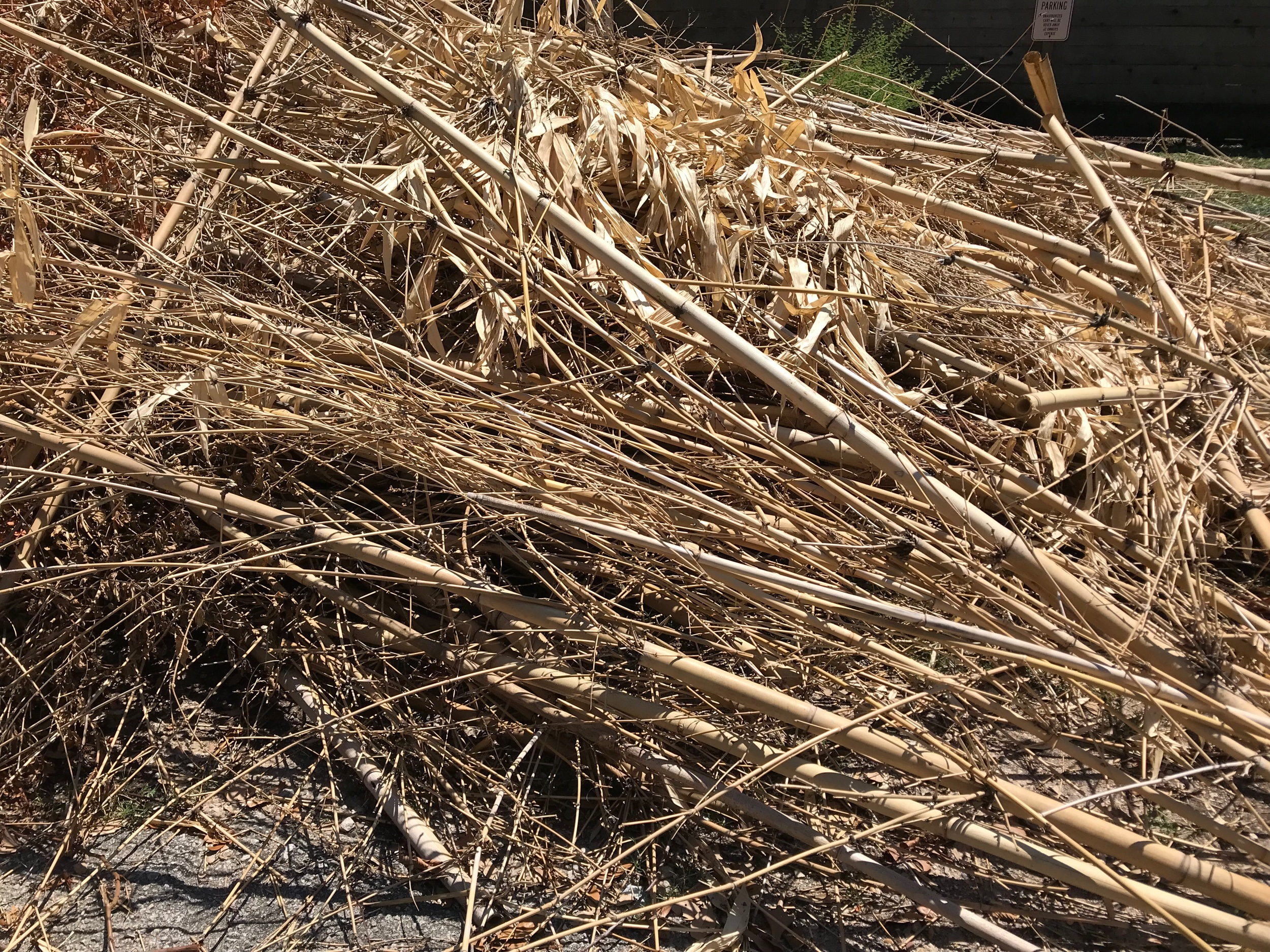 Leaving I saw this huge pile of bamboo waiting for the city of Houston's trash collectors to pick it up. I immediately text Doug Welch to ask for permission to rob it of enough sticks to make done native bumble bee houses.